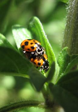ladybirds-bonking.jpg