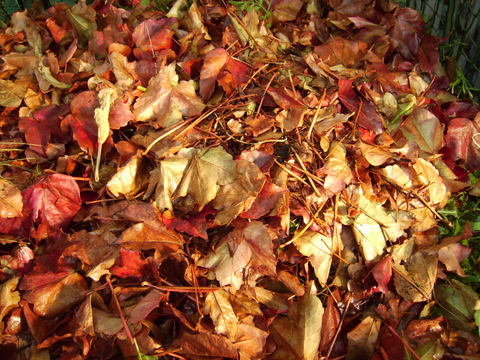Leaves in pile in leaf bin