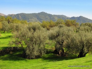 Olive groves in foothills of Mt Etna (1)