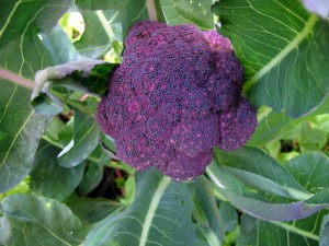 Purple broccoli (1)