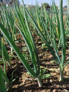 Green onions (2)