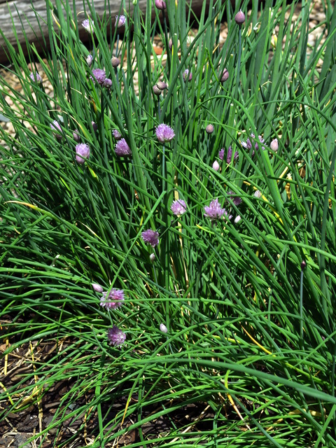 Jane\'s Delicious Garden Blog » Big onion flavour for small gardens