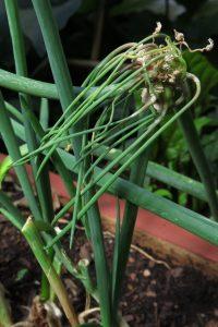 Walking onions (1)