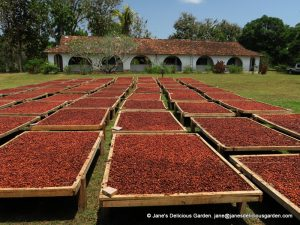 Cacao beans drying (2)