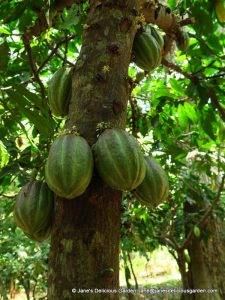 Cacao growing (6)