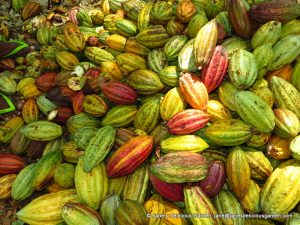 Cacao harvesting (7)