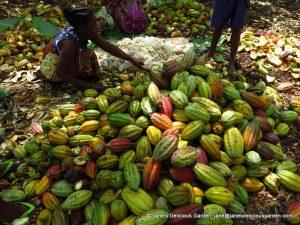 Cacao harvesting (8)