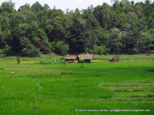 Rice paddies (5)
